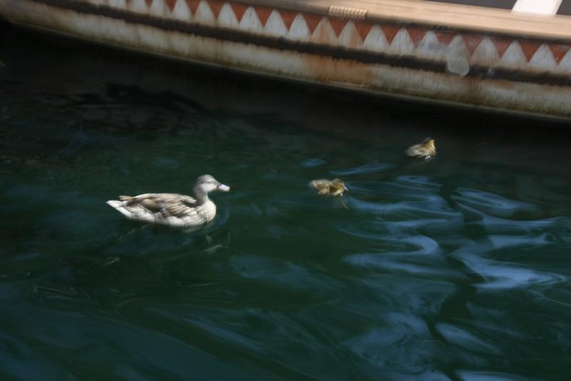 More baby ducks!